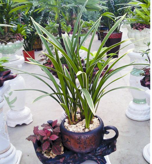 垂丝海棠盆制作,价格及养殖方法         黑松盆景价格