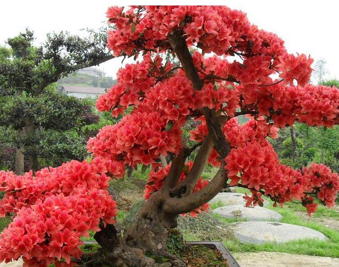 红继木盆景养殖方法